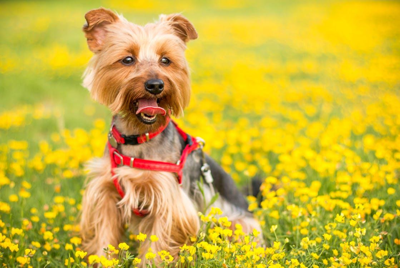 Yorkshire terrier i gresset